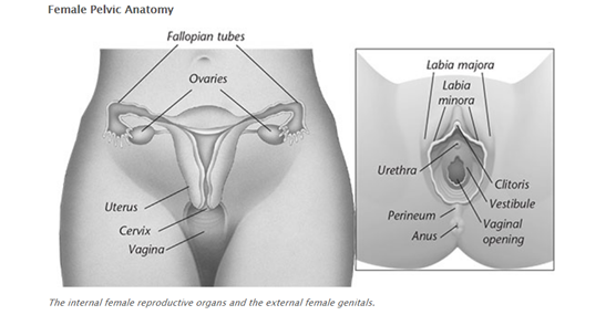 The internal female reproductive organs and the external female genitals.